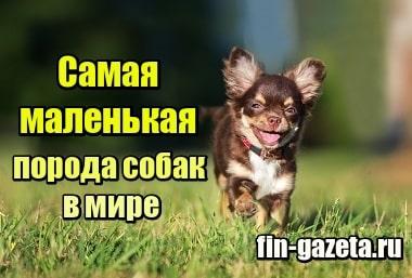 Фото Самая маленькая порода собак в мире